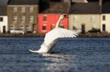 A swan stretches it's wings, the Long Walk, Galway.