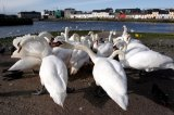 Swans bickering, The Claddagh, Galway.