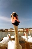Talkative Swan, The Claddagh, Galway.