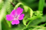 Wild geranium amongst ferns in the Burren Co. Clare.