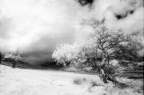 Infra red image of Hawthorn trees, Finny, Co.Mayo.