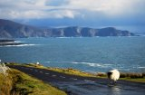 A sheep strolls along the Atlantic Drive, Achill Island off the coast of Co. Mayo.